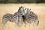 Zebras huddled together, Tarangire National Park, Tanzania.