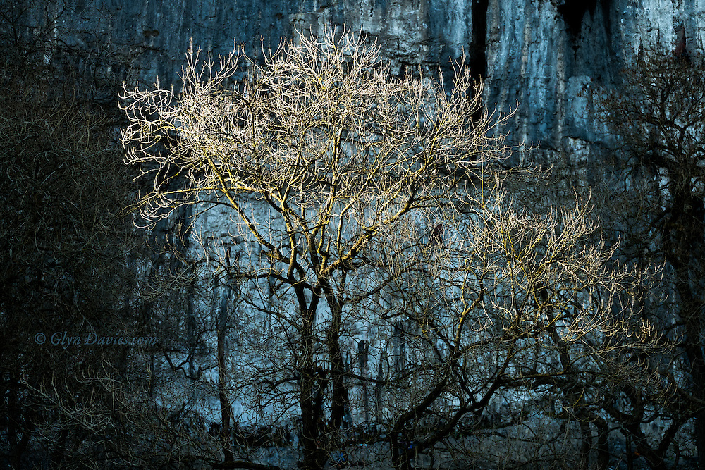 Spring Trees at the base of the gigantic 300' ancient waterfall of Malham Cove, reach for the last of the evening sunshine whilst rock climbers practice on the shadowy walls of the cliffs behind