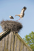 White stork (Ciconia ciconia) pair at nest on old barn. Nemunas regional park, Lithuania. Mission: Lithuania, June 2009