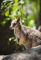 Mareeba Rock Wallaby (Petrogale mareeba) in natural habitat, Atherton Tablelands, Queensland, Australia