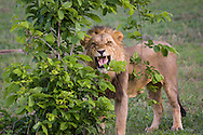 A male lion (Panthera leo) bares his teeth as he detects the scent of another lion in the Okavanga Delta region of Botswana. http://www.gettyimages.com/detail/photo/male-lion-with-teeth-bared-botswana-royalty-free-image/182986701