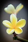 Two yellow plumeria.