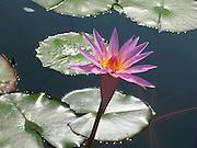 Pink Lotus ~ Beautiful pink and yellow lotus flower in a pond.  Quiet, serene and graceful.<br />