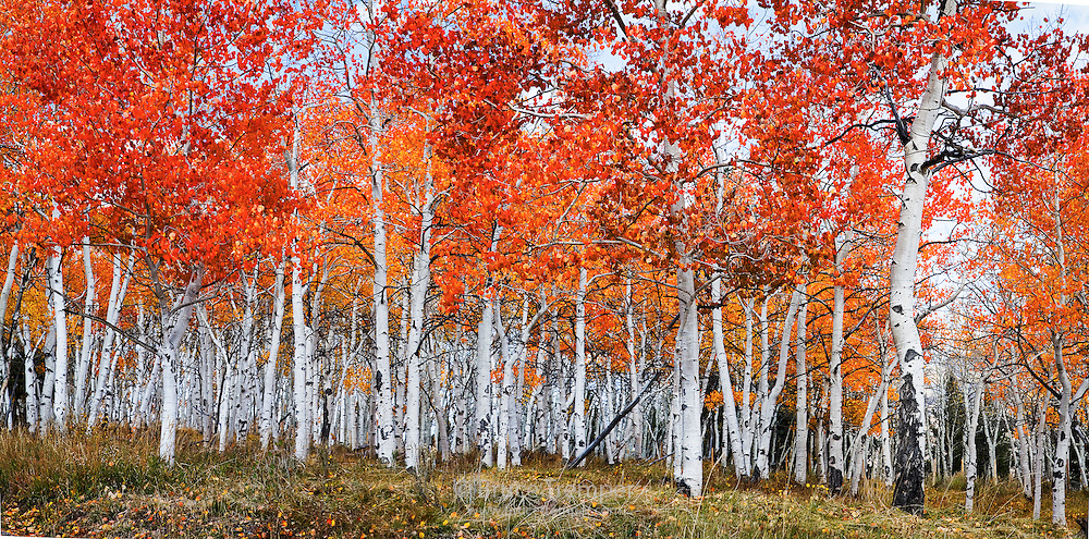 Aspen turning color in the mountains near Telluride, Colorado