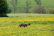 Wild muntjac deer in a meadow, Chadlington, Oxfordshire, England, United Kingdom
