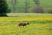 Wild muntjac deer in a meadow, Chadlington, Oxfordshire, England, United Kingdom