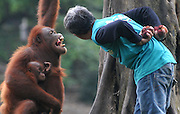 SOLO, INDONESIA - <br /> <br /> Expression of Orangutan<br /> <br /> Tori (15-years) hug her son Justin (2 years) orangutan (Pongo pygmaues) interacts with her keeper, Tukimin at Jurug Zoo on Solo, Central Java, Indonesia. <br /> Photographer Agoes Rudianto captured these photos with some very  funny expressions <br />  Agoes Rudianto said during a visit to Jurug zoo, he was surprised to see the closeness between Tori and Tukimin. <br /> ©Ahmad Rianto/Exclusivepix Media
