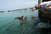 Fischefuettern (Fisch: Tarpon) in Long Key. Im Hintergund der Overseas Highway, welcher die Inseln verbindet..Florida 2009..Foto © Stefan Falke.
