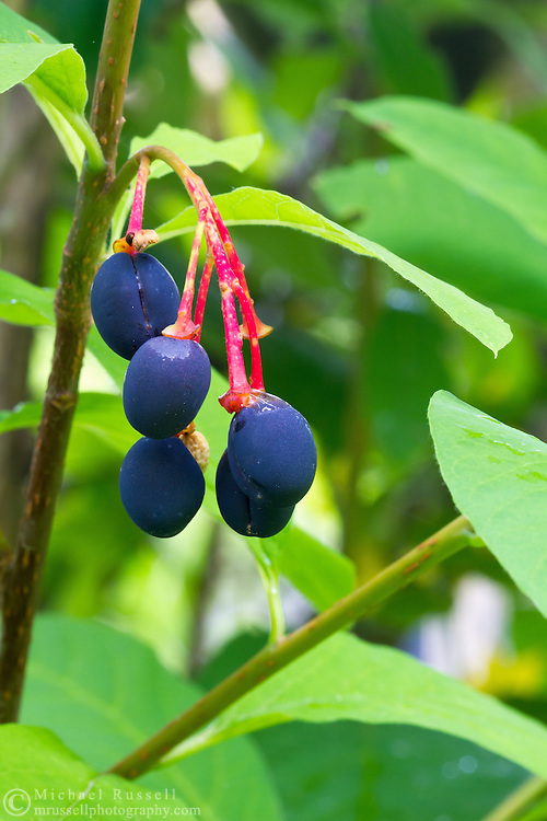 Indian Plum (Oemleria cerasiformis)  in the forest of the Fraser Valley in British Columbia, Canada