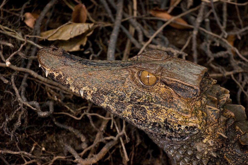 Mato Grosso, Brazil. September 30th  2007.  Cristalino State Park. Smooth-fronted Caiman (Paleosuchus trigonatus)Brazilian: Jacare de Coroa (Preto).
