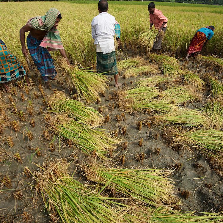 Harvesting rice in the field around the village of Jogahat, Chunamonhathi, Jessore, Bangladesh.