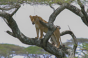 Lioness in acacia tree, Serengeti National Park