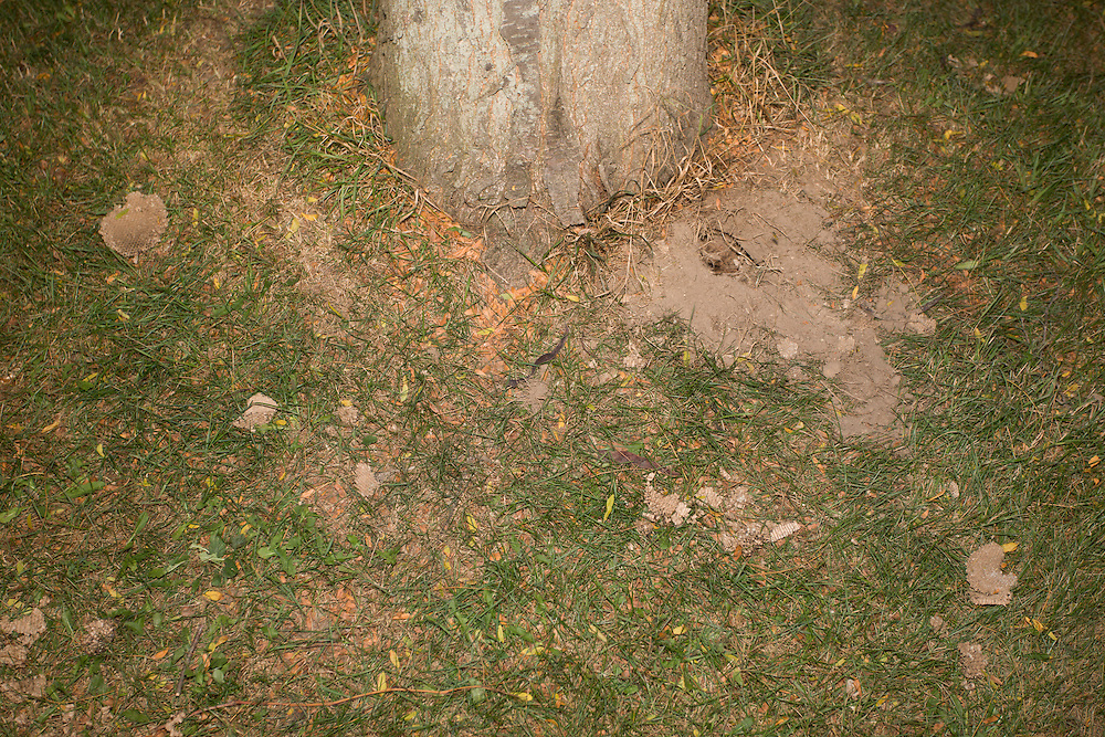 Eastern Yellowjacket nest dug up by raccoons.