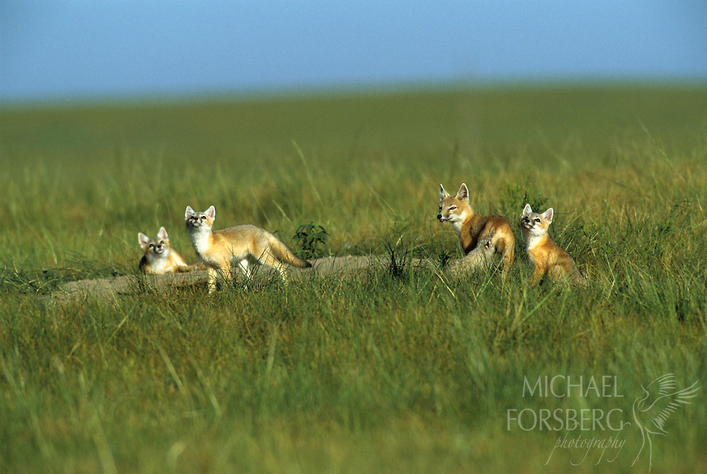 Box Butte County, Nebraska..In early morning, swift fox kits and adult watch a raptor fly high overhead at their den site