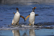 Two Gentoo penguins return from the sea at the same time.