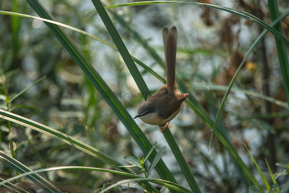 Ashy prinia or ashy wren-warbler (Prinia socialis)<br /> Bharatpur National Park <br /> Rajasthan, India<br /> Range: dry open grassland of Indian Subcontinent