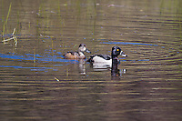 Ring-necked Duck (Aythya collaris)  Drake and hen.