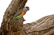 Male of Red-bellied or African Orange-bellied Parrot, Poicephalus rufiventris, from Samburu NP, Kenya.