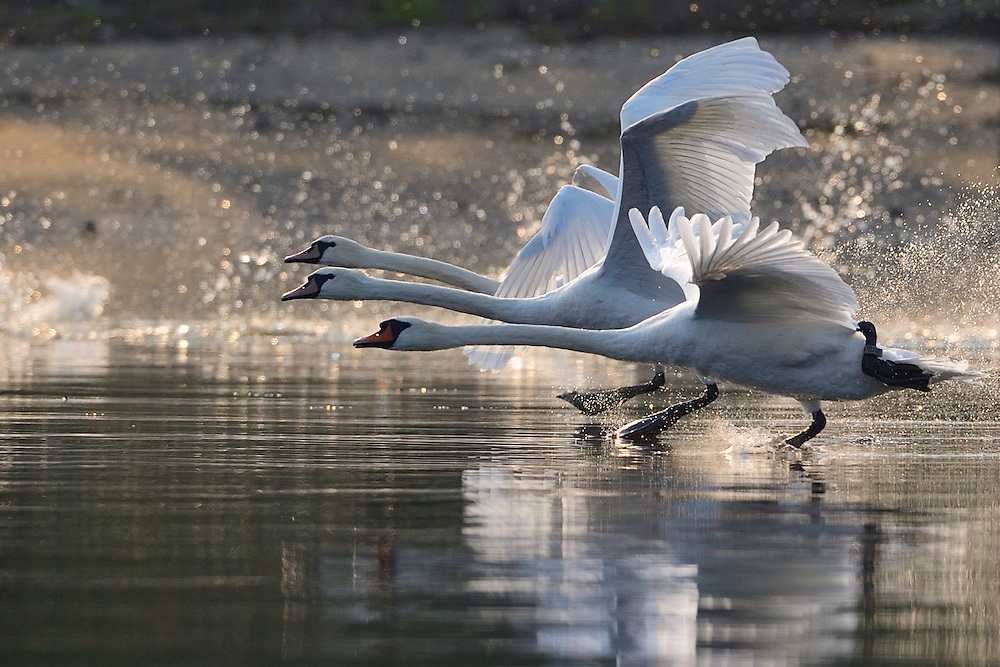 Mute swans , Cygnus olor, taking off, Stettin lagoon, Poland, Oder river delta/Odra river rewilding area, Stettiner Haff, on the border between Germany and Poland