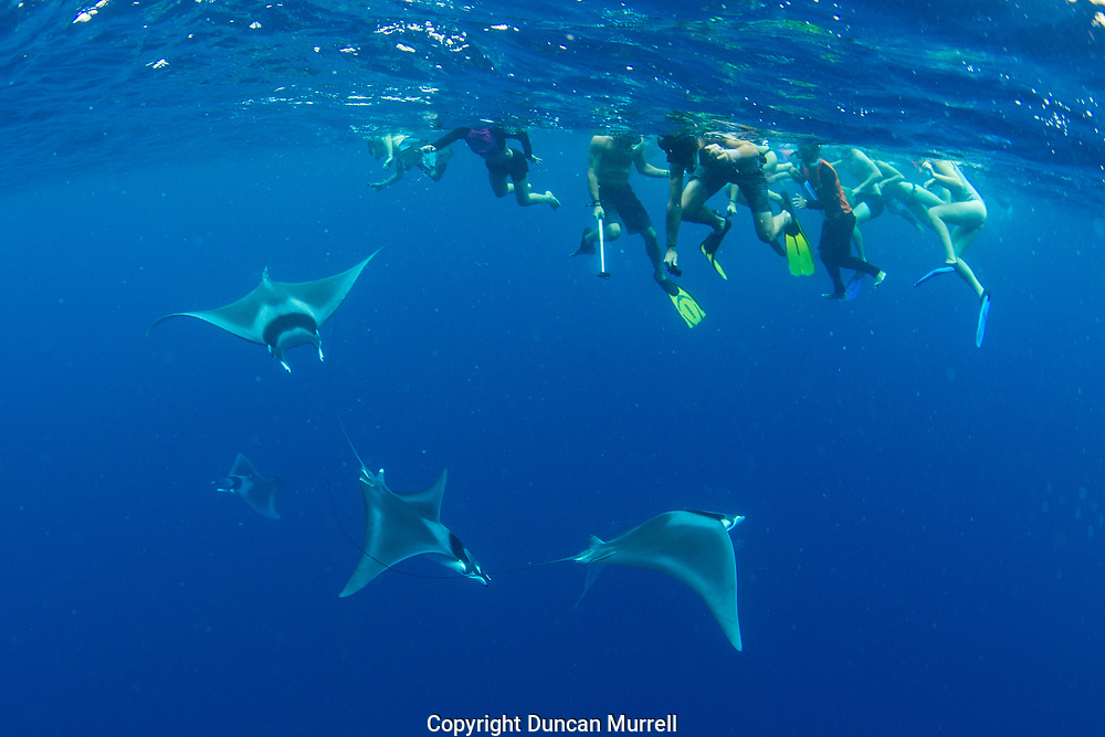 Tourists observing spinetail devil rays (Mobula mobular) engaged in courtship, Honda Bay, Palawan, the Philippines