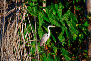 Heron at Lake Sandoval, Peruvian Rainforest, South America