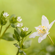 wood anemone in bloom and other white flowers against a green background
