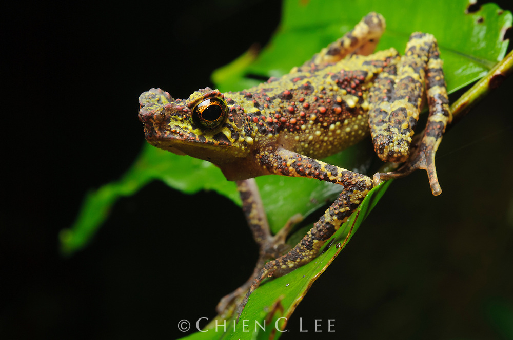 "Unseen since 1924, the Borneo Rainbow Toad (Ansonia latidisca) was previously listed as one of the ""world's top 10 most wanted frogs"" by Conservation International in their Global Search for Lost Frogs in 2010. It was rediscovered in Sarawak in 2011."