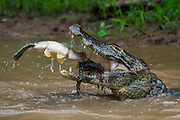 A yacare caiman, Caiman crocodylus yacare, catching a Tiger Fish, Hoplias malabaricus, catching a fish. Rio Negrinho, Pantanal, Mato Grosso, Brazil.