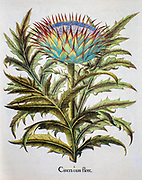 Hand painted cardoon (Cynara cardunculus), also called the artichoke thistle from Hortus Eystettensis, a codex produced by Basilius Besler in 1613 of the garden of the bishop of Eichstätt in Bavaria.