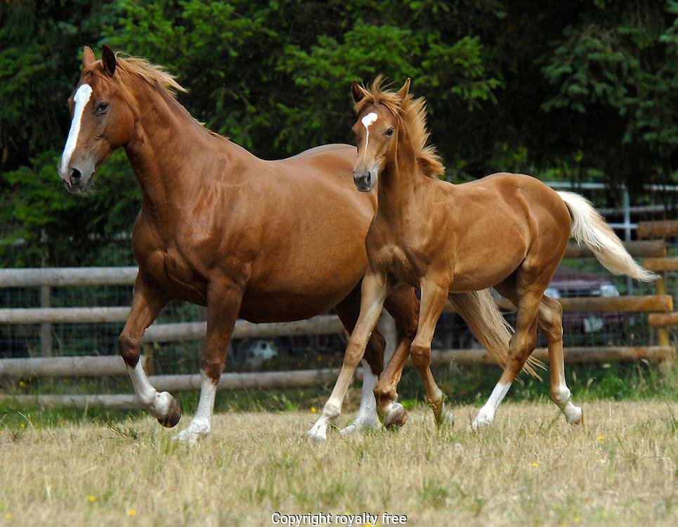 warmblood mare & foal trotting