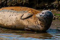 Seals, Elkhorn Slough, Moss Landing, Monterey County, California USA