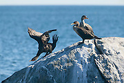 Three double-crested cormorants (Phalacrocorax auritus) dry themselves on a large rock in Rye Harbor, New Hampshire. The double-crested cormorant is the most widespread cormorant in North America..