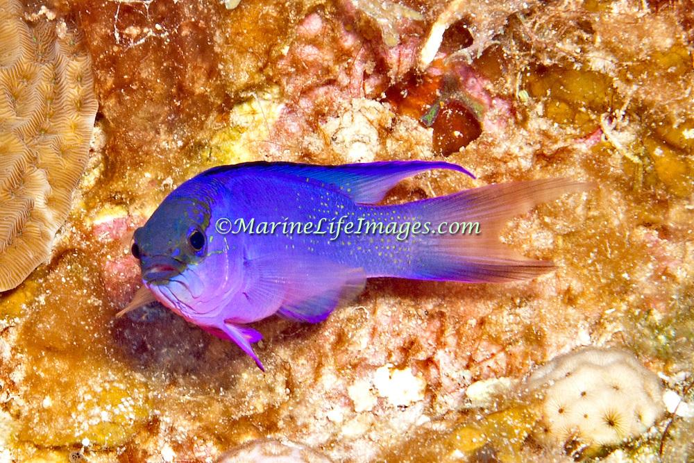Blackcap Basslet inhabit deep reefs, often in or near recesses in Tropical West Paciifc; picture taken Little Cayman.