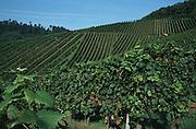 Deutschland, Germany,Baden-Wuerttemberg.Schwarzwald.Durbach (bei Offenburg), Weinberg.Durbach near Offenburg, vineyard...
