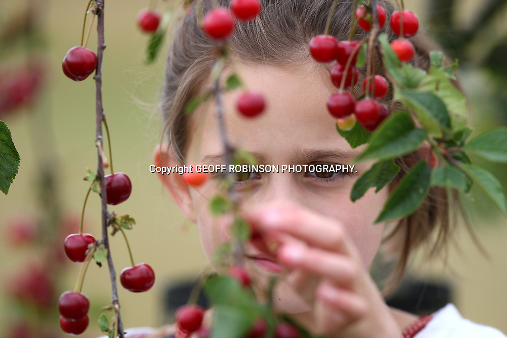 "PIC SHOWS  OLIVIA BRADSHAW ,9,PICKING CHERRIES IN AN ORCHARD NEAR OUNDLE,CAMBS... Britain has got its best crop of cherries for more than a DECADE thanks to the warm spring weather which helped the fruit flourish and ripen...Trees across the UK are laden with an abundance of delicious cherries after weeks of sunshine helped produce a bumper crop...The lack of rain means the cherries are SMALLER this year, but experts say the fruit is much SWEETER than normal due to the perfect continental growing conditions...Food campaigners, who are celebrating National Cherry Day on Saturday (July 16)say it is great news for British cherries, which are in danger of dying out because 90 per cent of the UK's orchards have been lost over the past 50 years...""It is a fantastic year for cherries and they are in abundance on the trees this year,"" said Mark Bradshaw, manager of The National Trust's garden at Lyveden New Bield in Oundle, Northamptonshire, which has a cherry orchard...SEE COPY CATCHLINE Britain's bumper cherry crop"