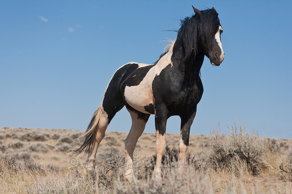 Black and white paint band stallion in Wyoming ...