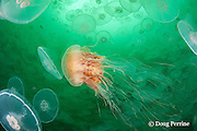 lion's mane jellyfish, Cyanea capillata, swimming through swarm or aggregation of moon jellies, Aurelia labiata, Port Fidalgo, Alaska ( Prince William Sound ); lion's mane jellies are predators that feed on moon jellyfish