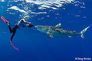 Stefanie Brendl videotapes tiger shark, Galeocerdo cuvier, North Shore, Oahu, Hawaii, USA ( Central Pacific Ocean ) MR 388