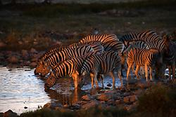 NAMIBIA ETOSHA 28APR14 - A herd of Zebra drink at a waterhole in the Etosha pan near Okaukuejo, Etosha National Park, Namibia. <br /> <br /> <br /> <br /> jre/Photo by Jiri Rezac<br /> <br /> <br /> <br /> © Jiri Rezac 2014