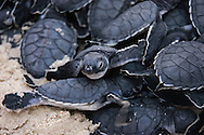 Newborn turtles of Chelonia mydas sp. at Maagan michael sandy beach