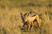 Black-backed Jackal<br /> Canis mesomelas<br /> Four week old pup peeking out of den <br /> Masai Mara Triangle, Kenya