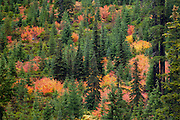 Vine Maple and conifers in Autumn, Umpqua National Forest on Rhododendron Ridge along FS Road #28, Cascade Mountains, Oregon..