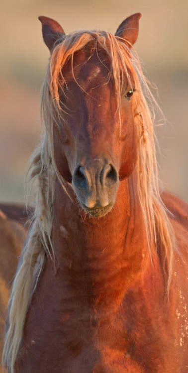 The mustang stallion, Kenya, locks eyes with this photographer at the McCullough Peaks Herd Management Area outside of Cody, Wyoming.