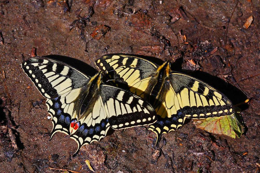 Russia, Caucasus, Teberdinsky biosphere reserve. Swallowtails (Papilio machaon) sunbathing on a riverbank in Arkhyz section of the park.