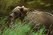 USA, Vereinigte Staaten Von Amerika: Grizzlybär (Ursus arctos horribilis) fühlt sich während er einen Lachs frisst gestört, Katmai Nationalpark, Alaska | USA, United States Of America: Brown bear (Ursus arctos horribilis), disturbance during feeding on salmon, Katmai National Park, Alaska |