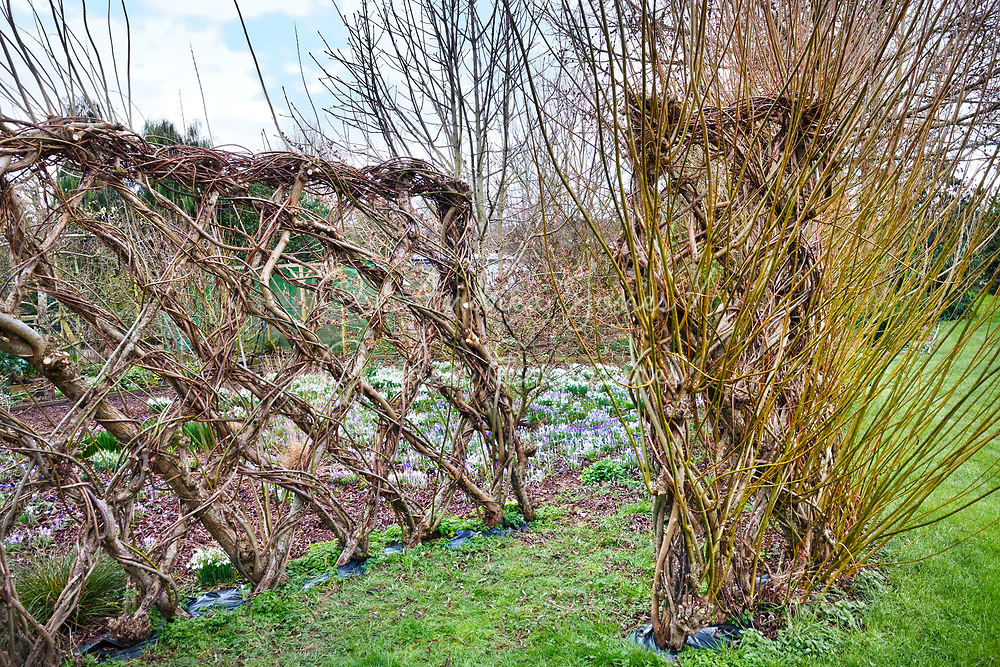 Living willow fences looking to border of crocus and snowdrops<br /> <br /> <br /> <br /> Ivycroft Plants, Herefordshire, England