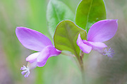 Fringed Polygala, Gaywings, Polygala paucifolia, Mackinac County, Michigan