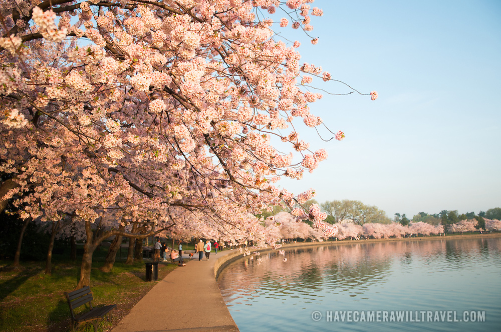 Some of the nearly 1700 cherry blossoms that line the Tidal Basin in Washington DC. The Yoshino Cherry Blossom trees lining the Tidal Basin in Washington DC bloom each early spring. Some of the original trees from the original planting 100 years ago (in 2012) are still alive and flowering. Because of heatwave conditions extending across much of the North American continent and an unusually warm winter in the Washington DC region, the 2012 peak bloom came earlier than usual.