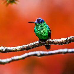 Beija-flores, Andorinhões - Apodiformes / Hummingbirds, Swifts