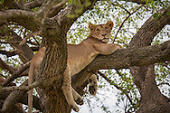 Young lion lying in a tree in the Serengeti National Park, a UNESCO World Heritage Site in Tanzania. http://www.gettyimages.com/detail/photo/lion-lying-in-tree-serengeti-tanzania-royalty-free-image/182986706
